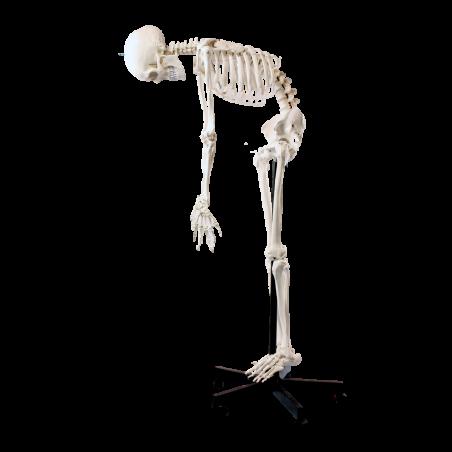 Joustava luuranko 175 cm (2-malli)