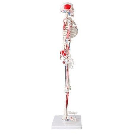 Mini luuranko maalatuilla lihaksilla 85 cm