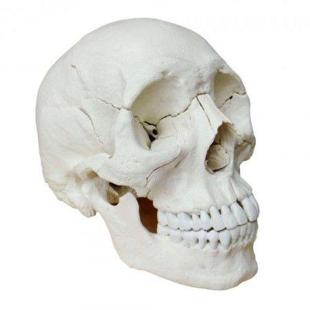 Pääkallo 22 osaa (Anatominen versio)