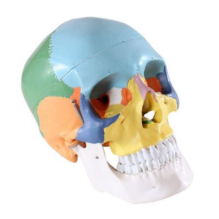 Anatominen pääkallo 3 osaa (värillinen)