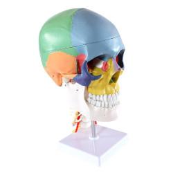 Anatominen pääkallo 4...