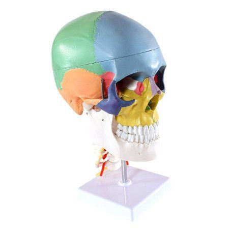 Anatominen pääkallo 4 osaa (värillinen)