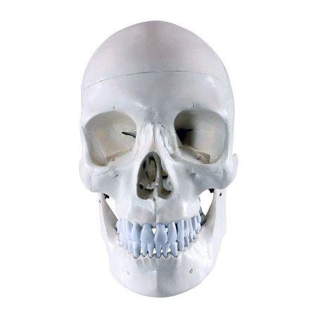 Anatominen pääkallo 3 osaa