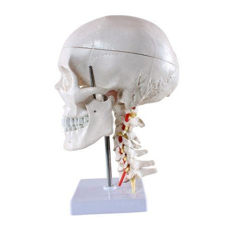 Anatominen pääkallo 4 osaa