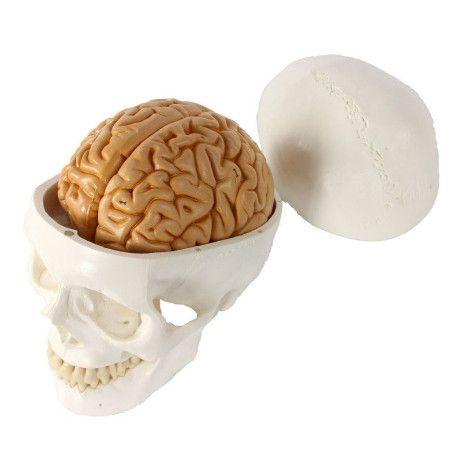 Pääkallo aivoilla