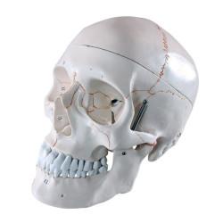 Anatominen pääkallo 3...