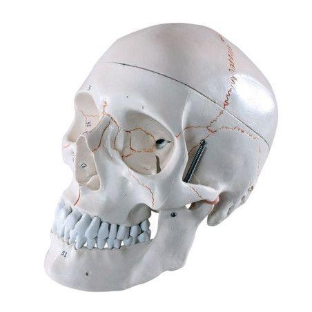 Anatominen pääkallo 3 osaa, numeroitu